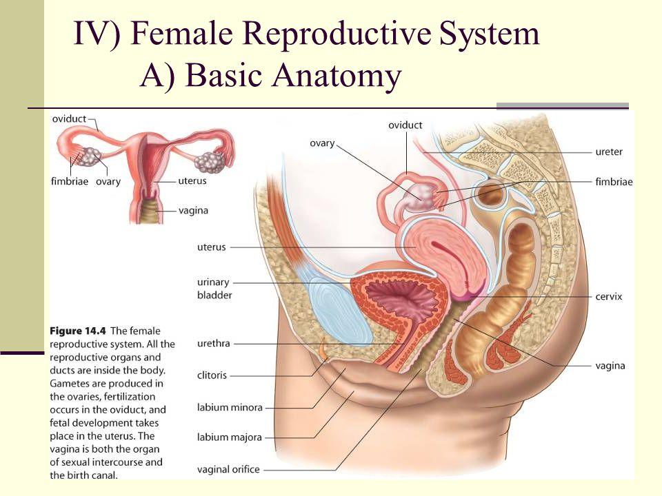 Nude Female Sexual Anatomy 26