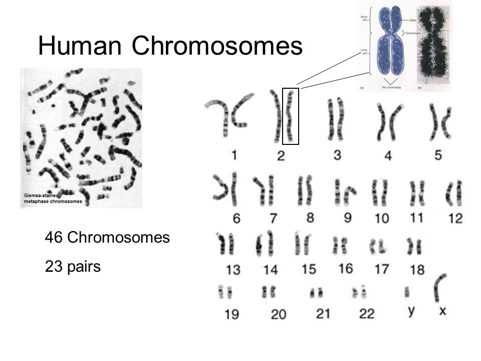 Saccharomyces cerevisiae budding