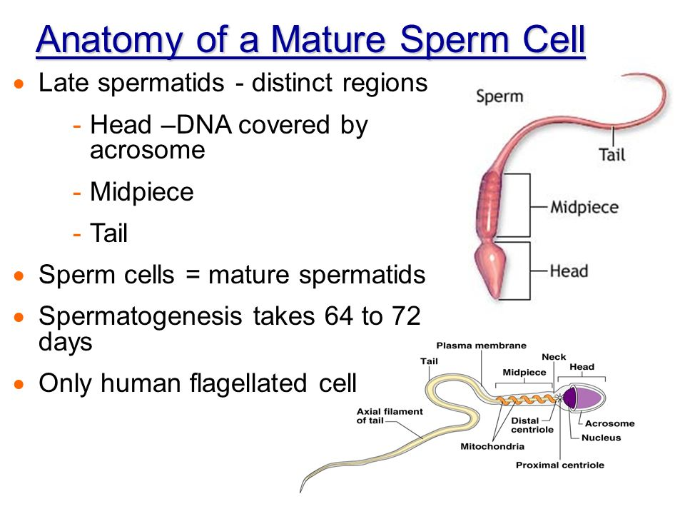 Awesome Anatomy Of A Sperm Cell Gift Human Anatomy Images