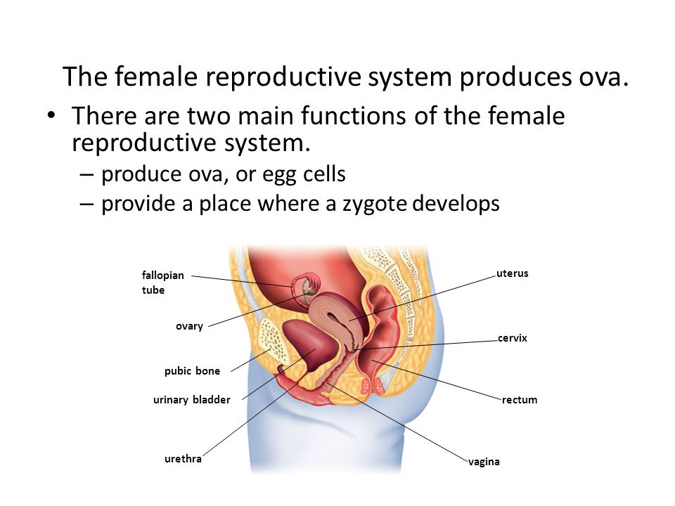 Lujoso Anatomy And Physiology Reproductive System Worksheet Answers ...