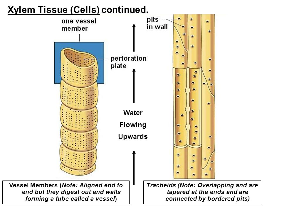 kangaroo cells diagram plant structure: cells, tissues, organs, meristems ... #6