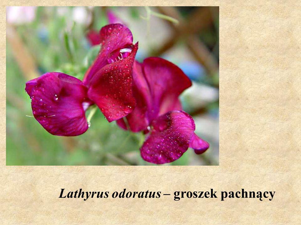Lathyrus odoratus – groszek pachnący