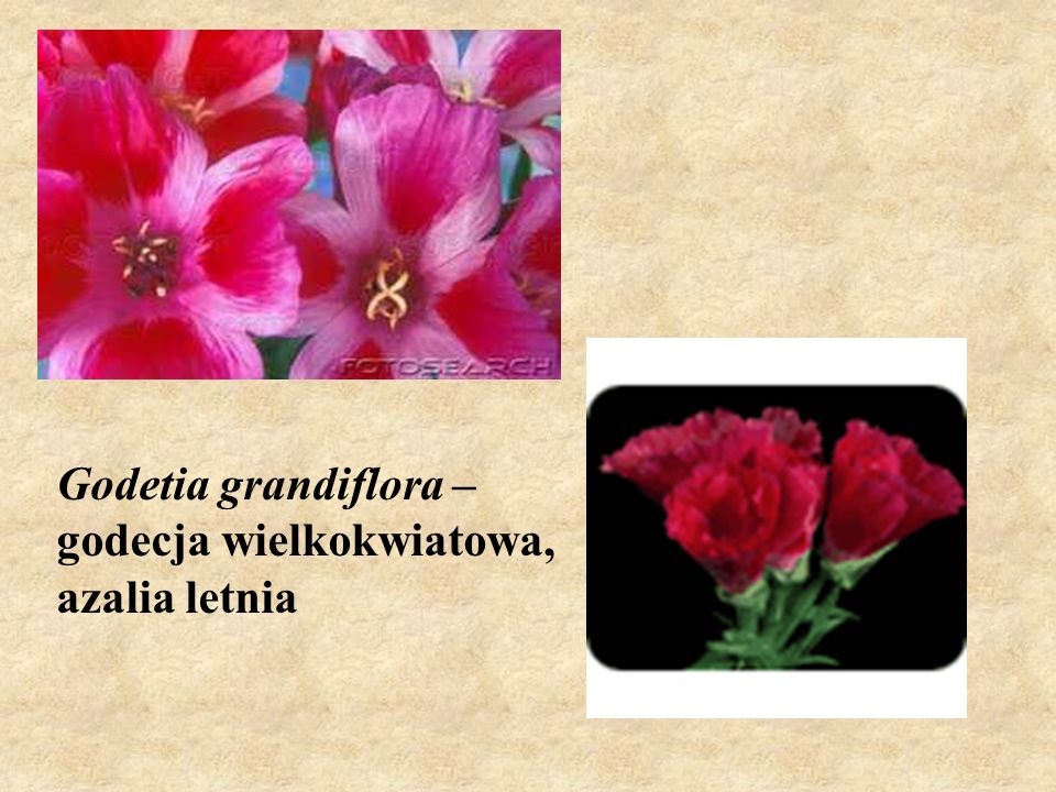 Godetia grandiflora – godecja wielkokwiatowa, azalia letnia