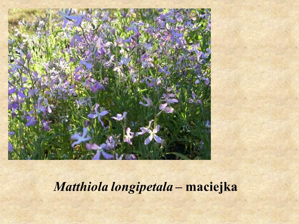 Matthiola longipetala – maciejka