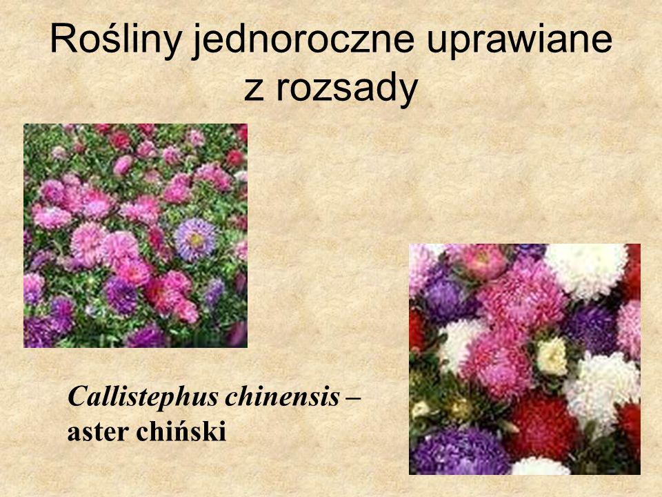 Rośliny jednoroczne uprawiane z rozsady