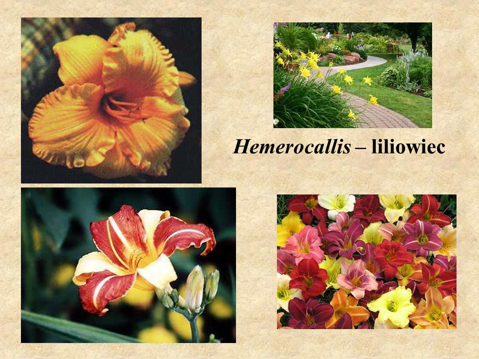 Hemerocallis – liliowiec