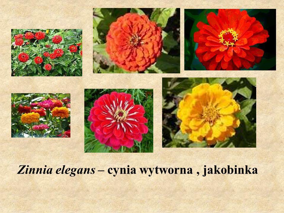 Zinnia elegans – cynia wytworna , jakobinka
