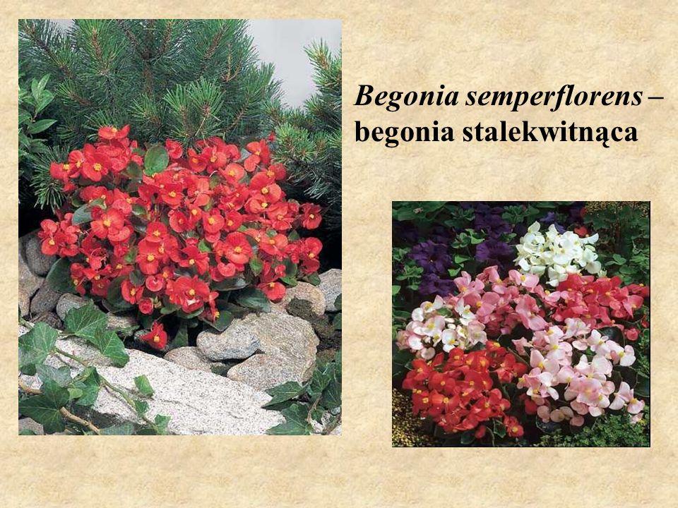 Begonia semperflorens – begonia stalekwitnąca