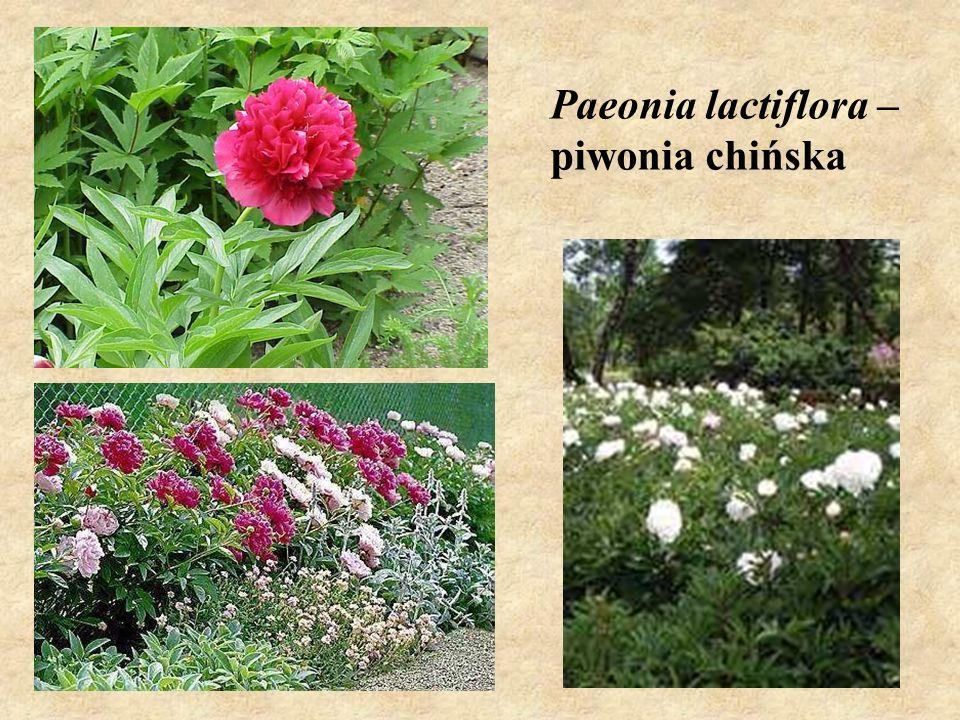 Paeonia lactiflora – piwonia chińska