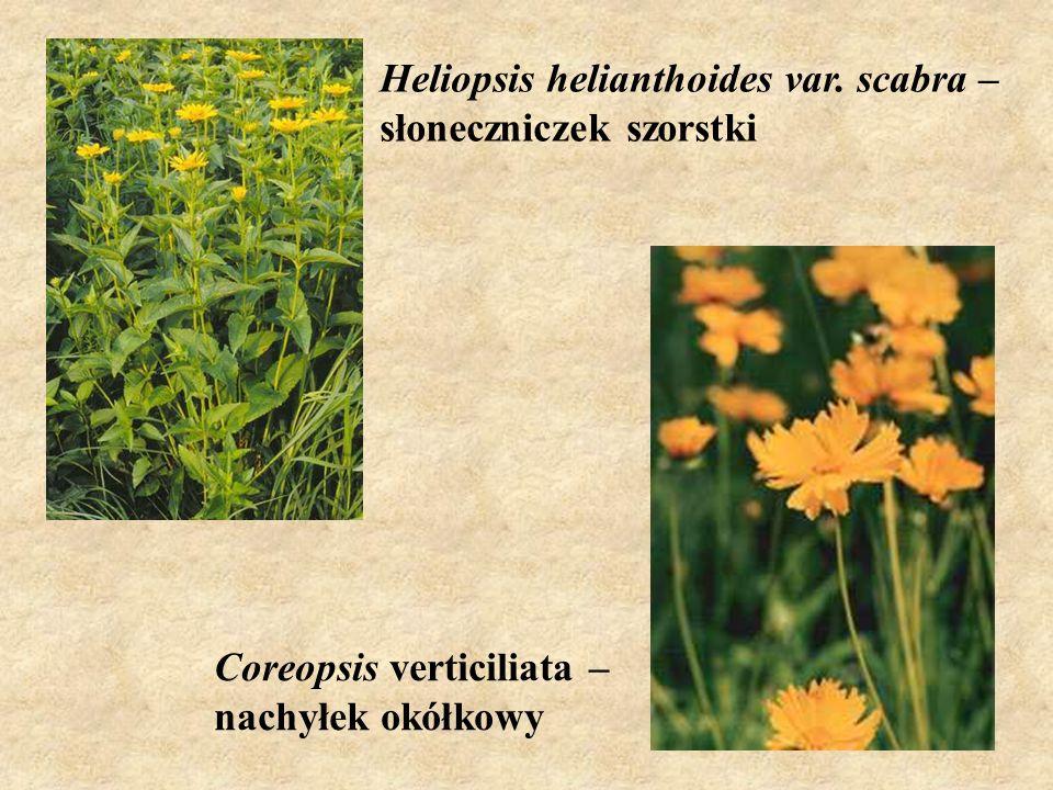 Heliopsis helianthoides var. scabra – słoneczniczek szorstki