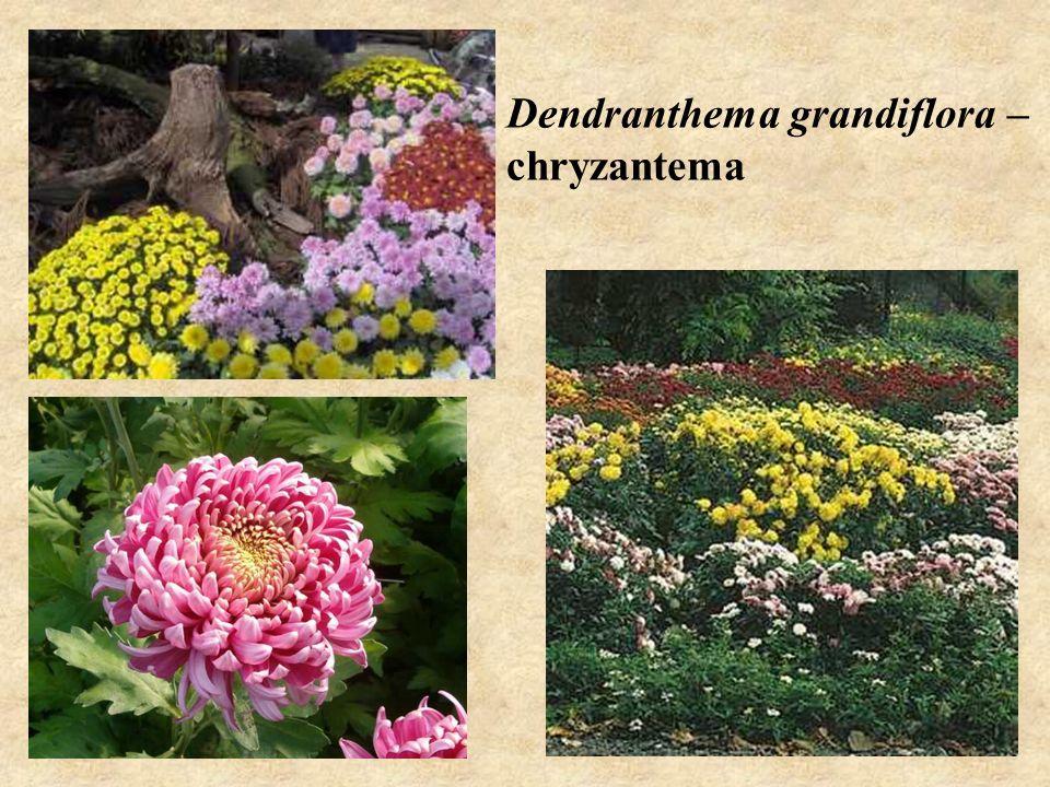 Dendranthema grandiflora – chryzantema