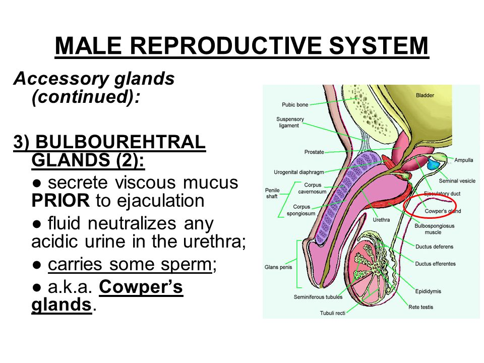 "male reproduction system Hypospadias – literally ""below the fleshy spike"" a condition in which the external urinary meatus (opening) opens anywhere below the."