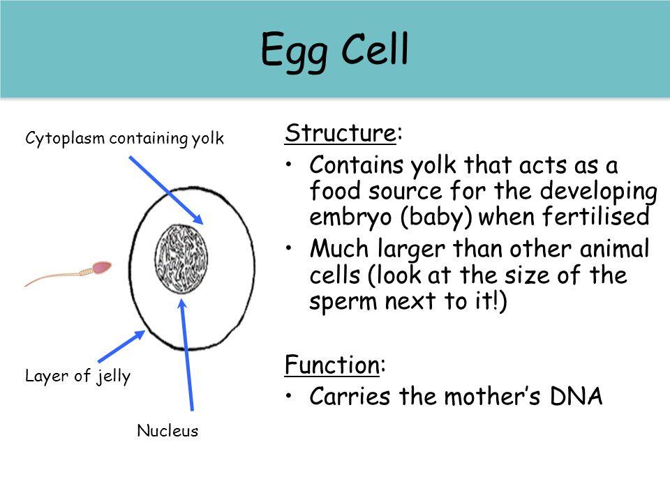 Egg Cell Egg (Ovum) Cell Structure: