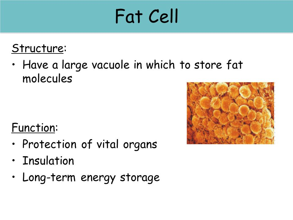 Sperm cells Fat Cell Structure: