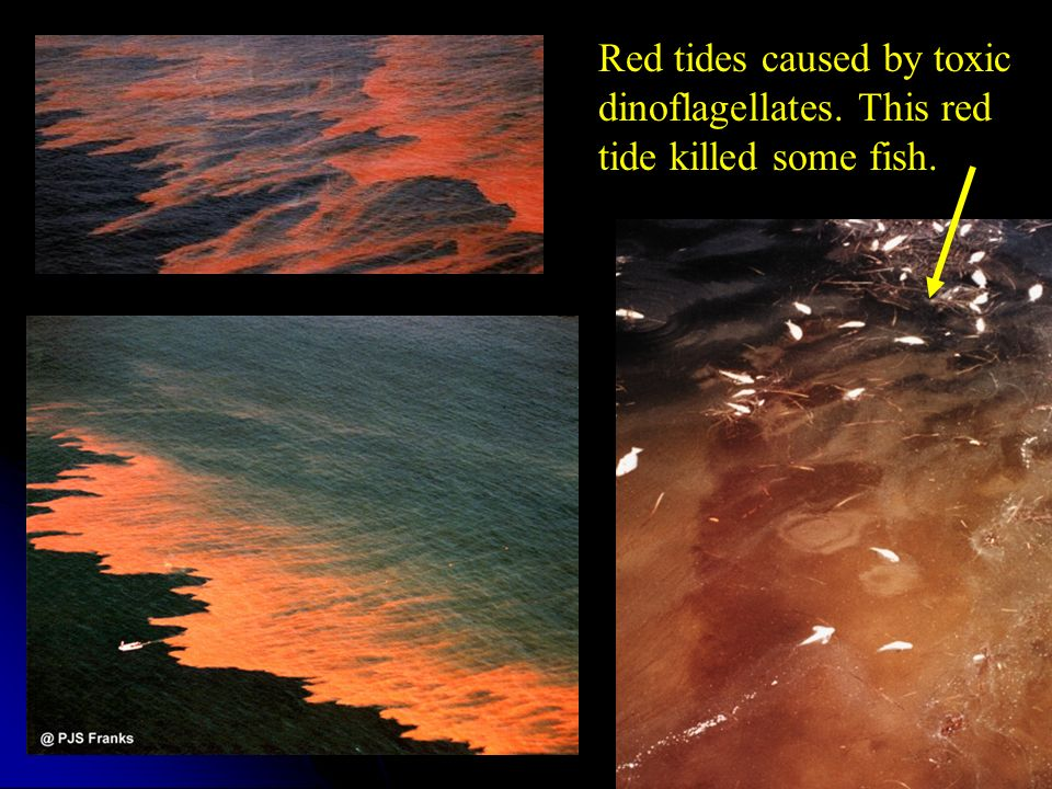 Red tides caused by toxic dinoflagellates