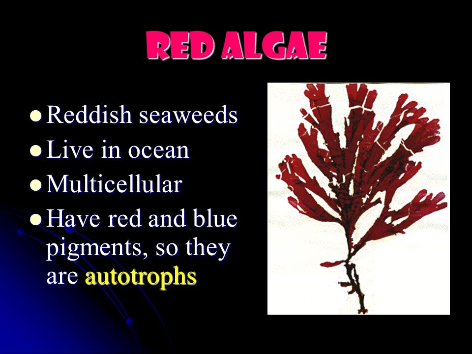 Red Algae Reddish seaweeds Live in ocean Multicellular