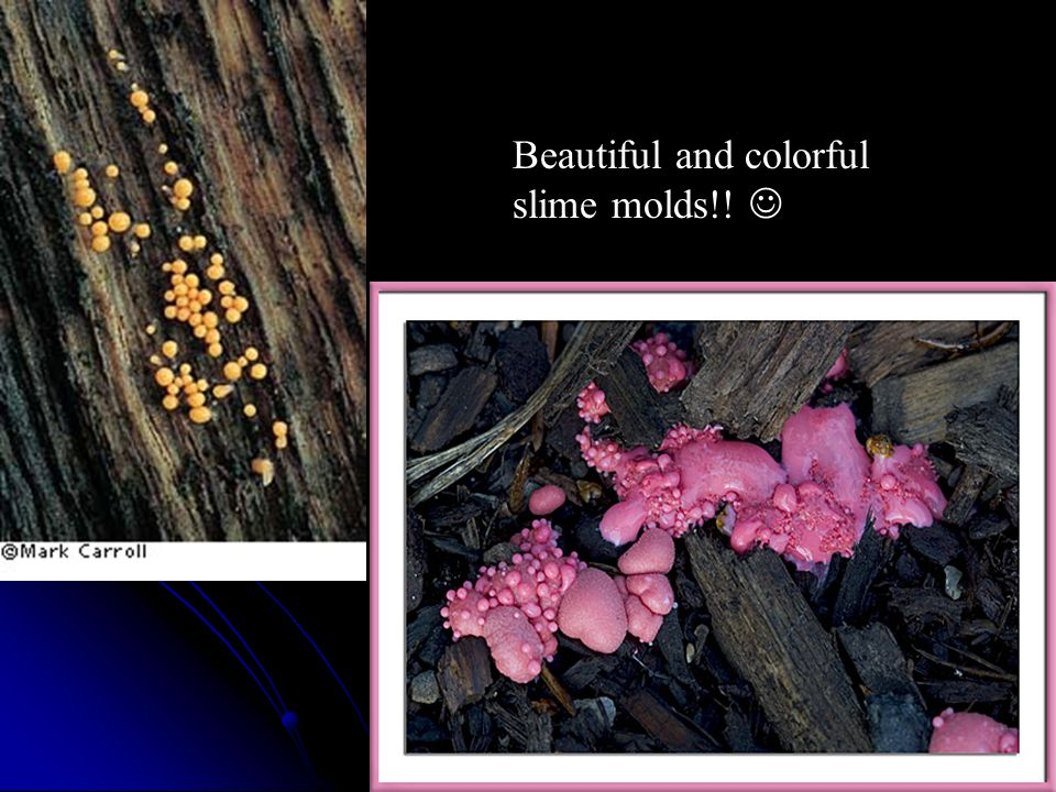 Beautiful and colorful slime molds!! 
