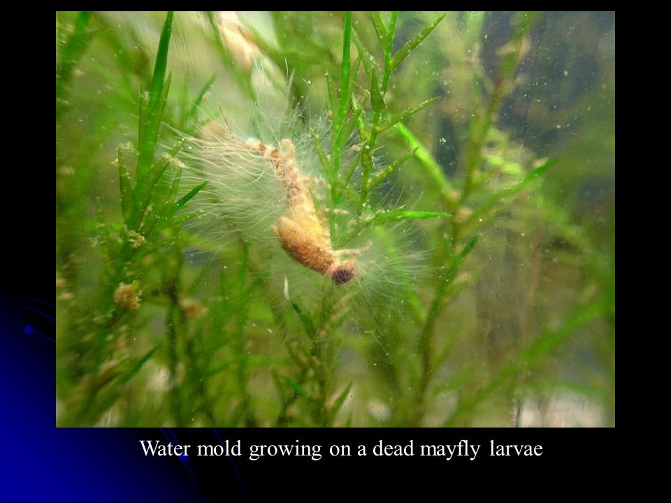 Water mold growing on a dead mayfly larvae