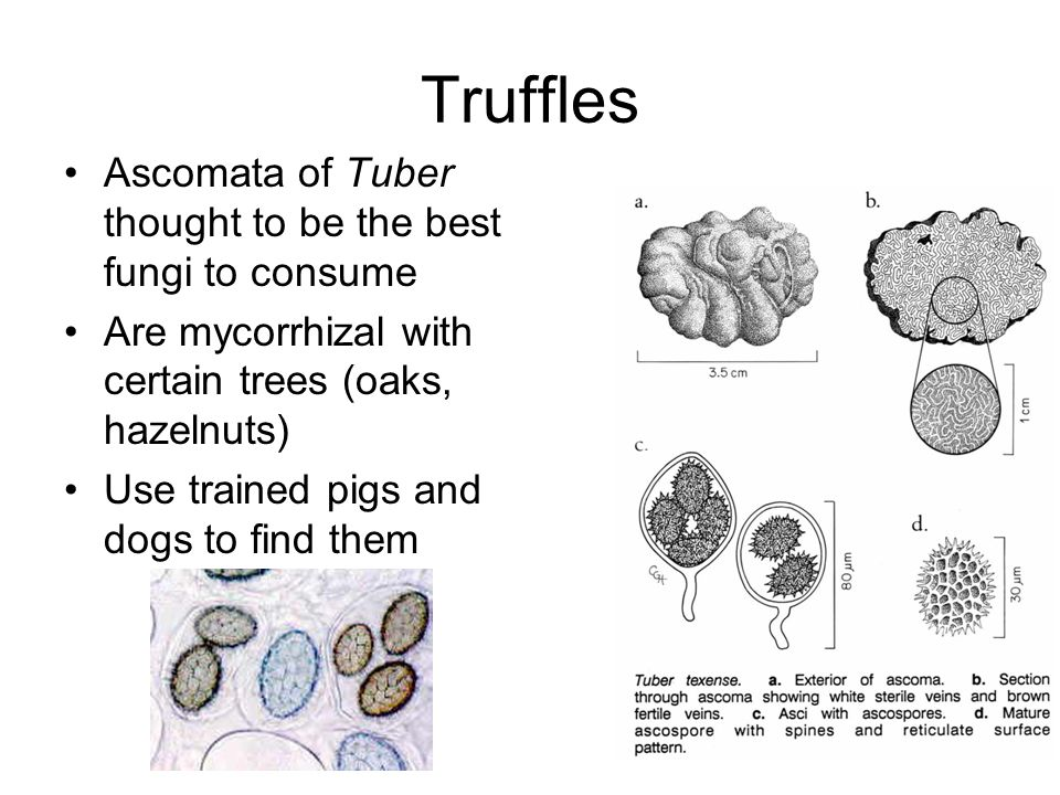 how to find truffles without a dog or pig