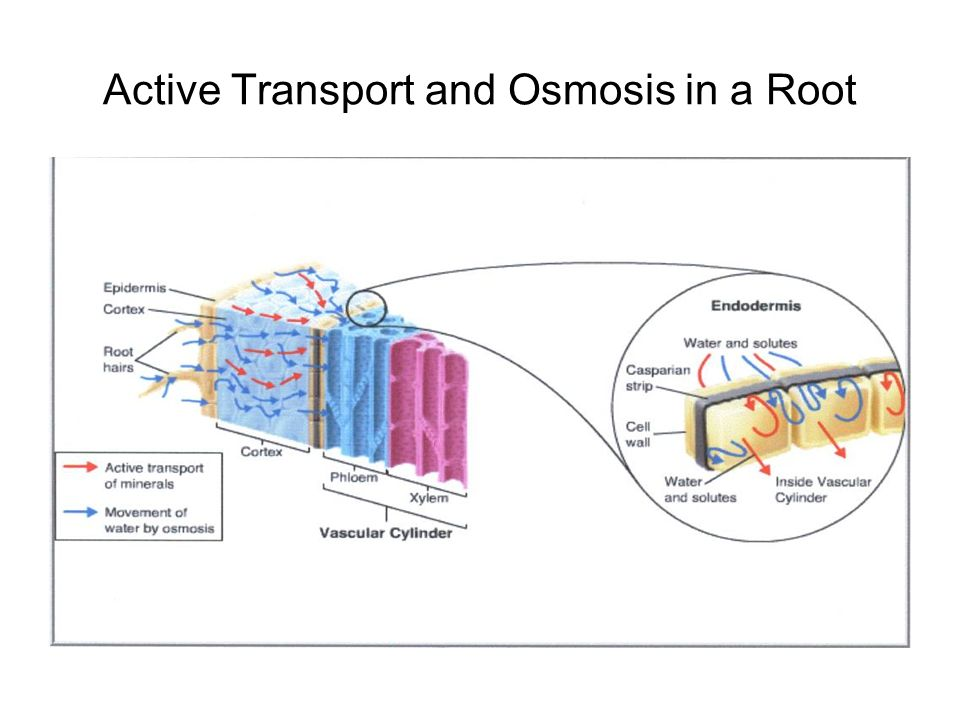 diffusiom osmosis and active transport Active transport expends energy, unlike osmosis and diffusion active transport is a way to move substances against concentration gradients in the cell membrane, so they need more energy to do so.