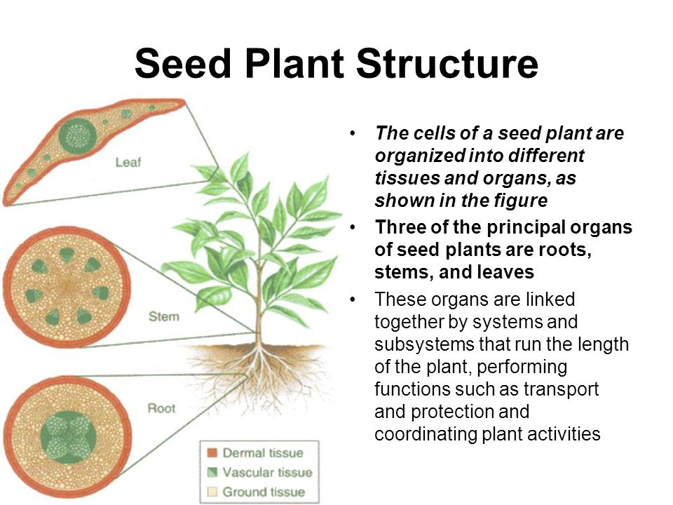 Roots, Stems, and Leaves Ms. Moore 9/6/ ppt video online download
