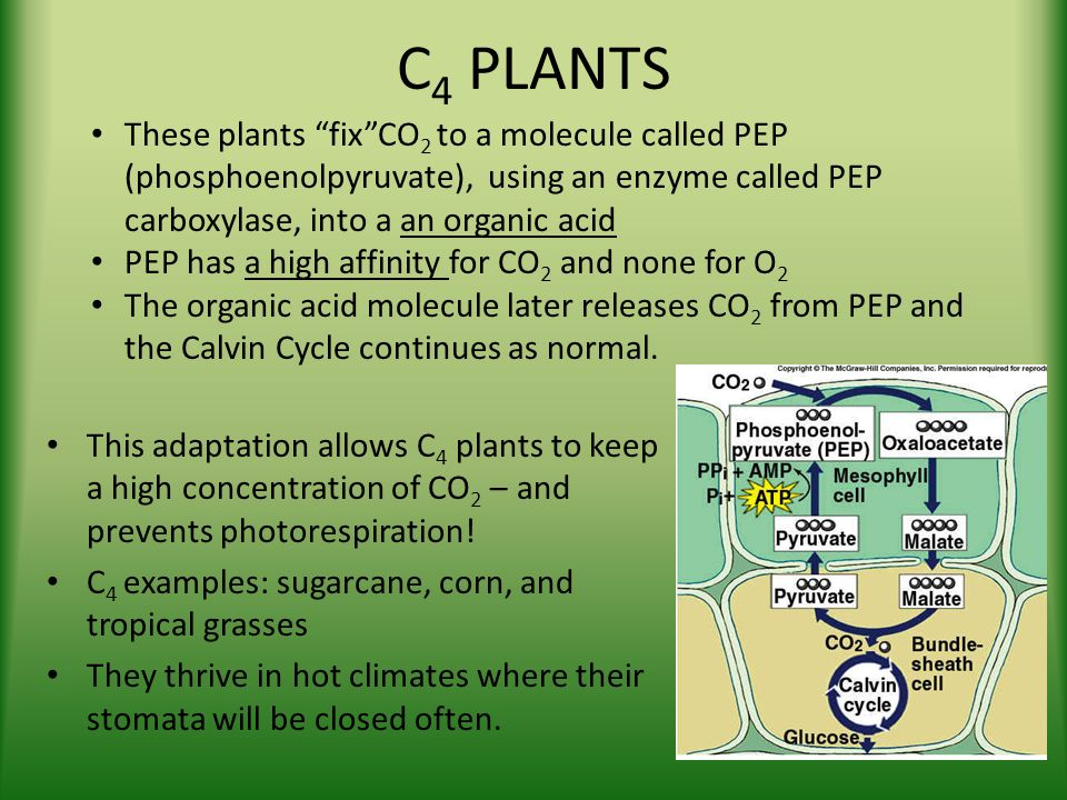 c4 and cam plants essay \ campbell chapter 10: mastering biology questions  campbell chapter 10: mastering biology  c4 plants differ from c3 and cam plants in that c4 plants.