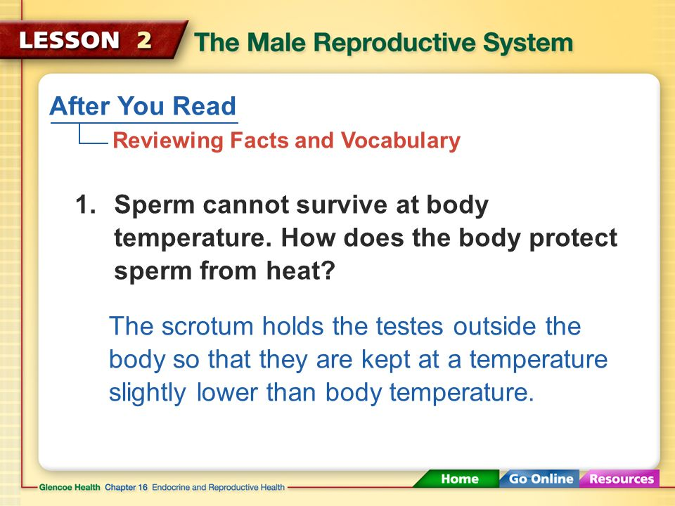 the male reproductive system (1:29) - ppt download, Muscles