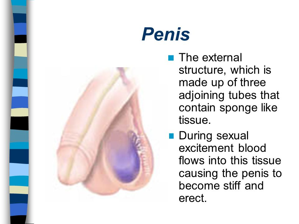 Penis The external structure, which is made up of three adjoining tubes that contain sponge like tissue.