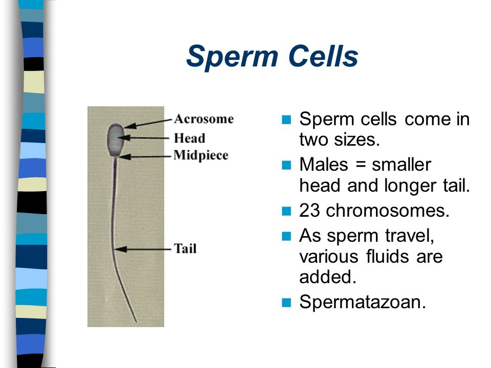 Sperm Cells Sperm cells come in two sizes.