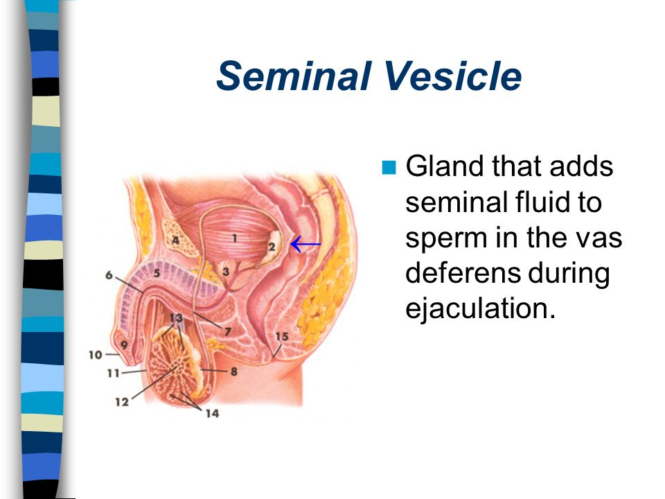 Seminal Vesicle Gland that adds seminal fluid to sperm in the vas deferens during ejaculation. 