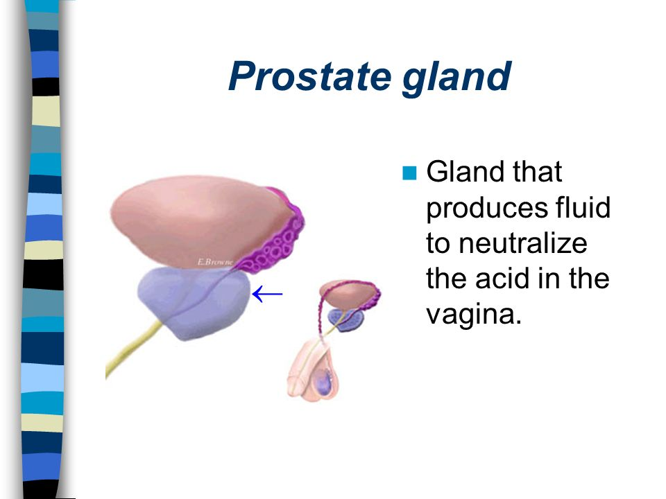 Prostate gland Gland that produces fluid to neutralize the acid in the vagina.