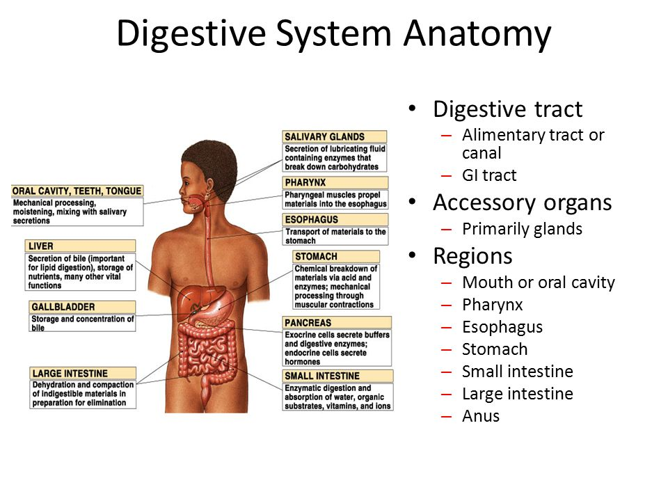 Digestive System Anatomy - ppt video online download