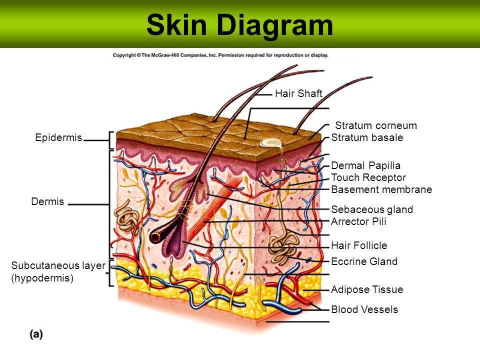 Skin Diagram Hair Shaft Stratum corneum Epidermis Stratum ...