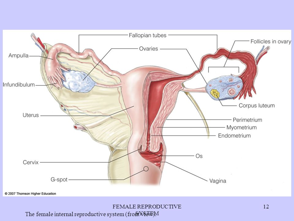 Exelent Female Anatomy Reproductive System Diagram Model - Anatomy ...