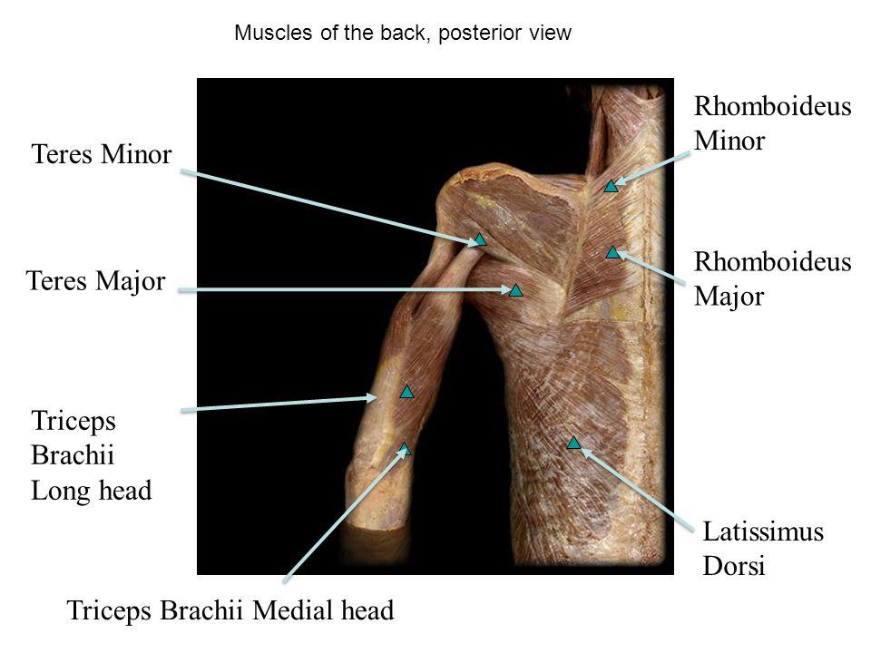 Cat Triceps Brachii Long Head