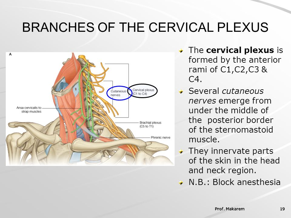 case study about cervical plexus Again good luck and i hope this helps you gain a better understanding of the brachial plexus reveal answers: cervical plexus and lower back in this case, a.