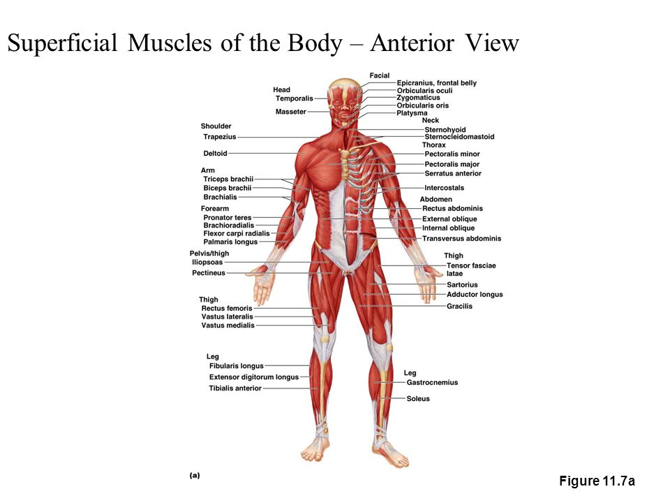 superficial muscles of the body – anterior view - ppt download, Muscles