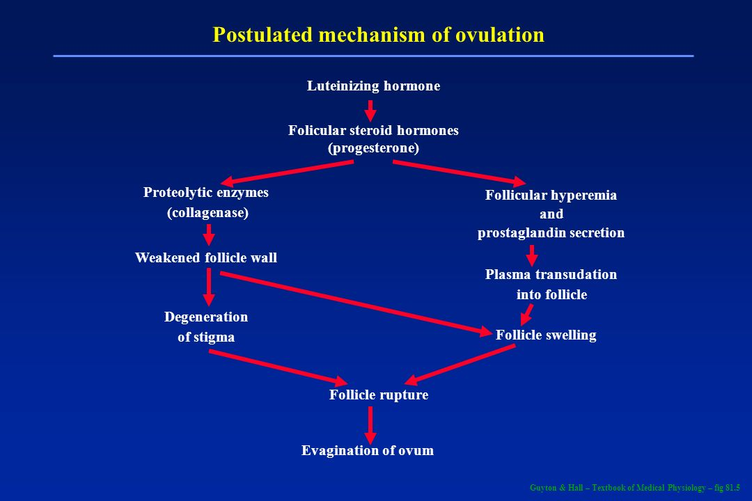 Postulated mechanism of ovulation