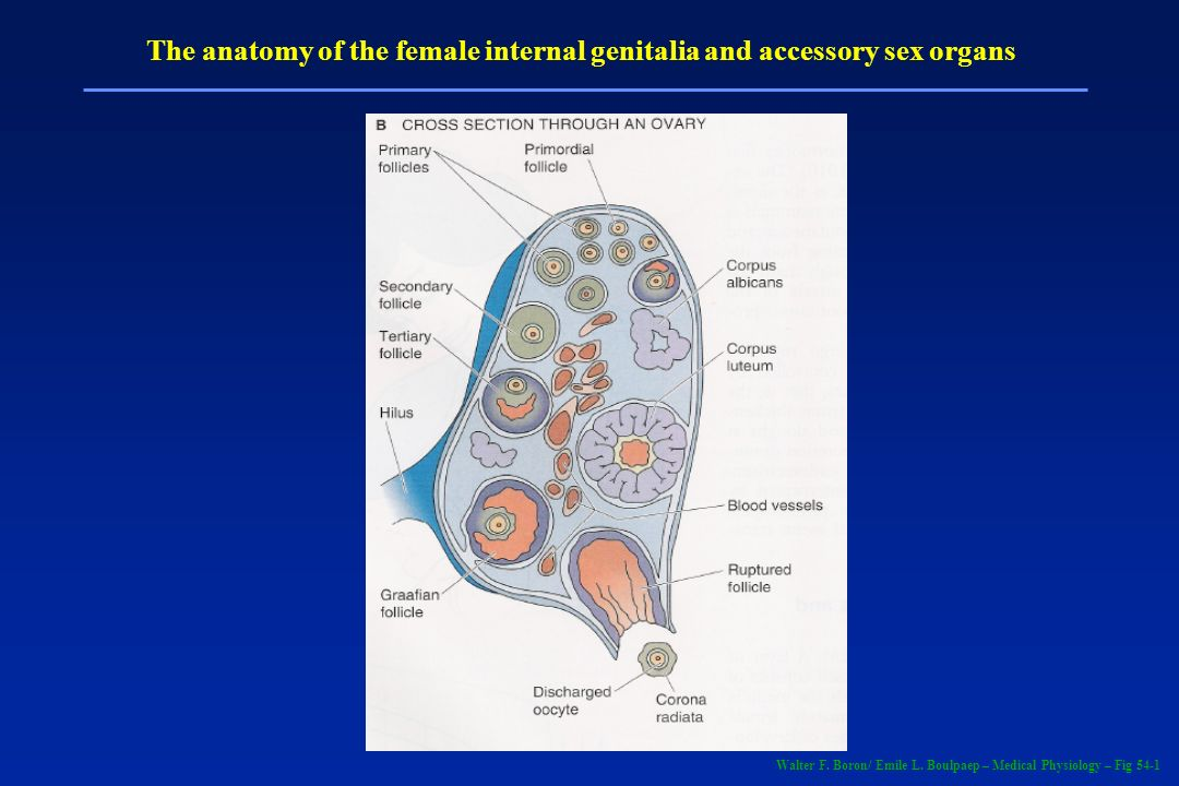 The anatomy of the female internal genitalia and accessory sex organs