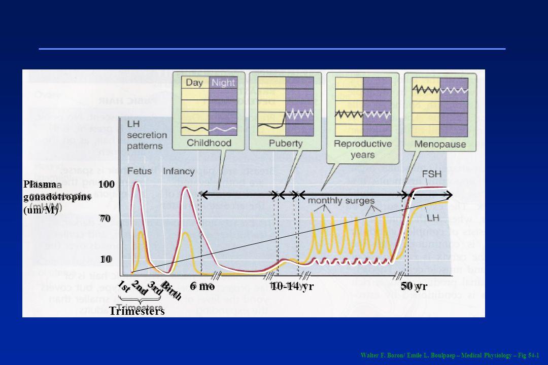 6 mo 10-14 yr 50 yr Trimesters Plasma gonadotropins (um/M) 100 70 10