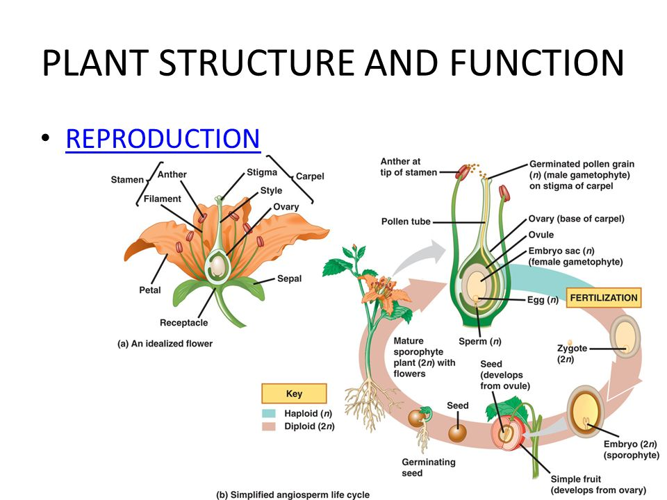 structure a car diagram seed structure and function diagram plant structure and function (the last chapter!!) - ppt ...
