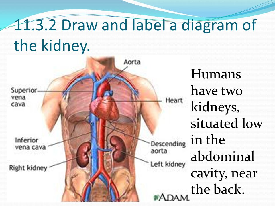 Define excretion excretion refers to the removal of the waste 1132 draw and label a diagram of the kidney ccuart Image collections