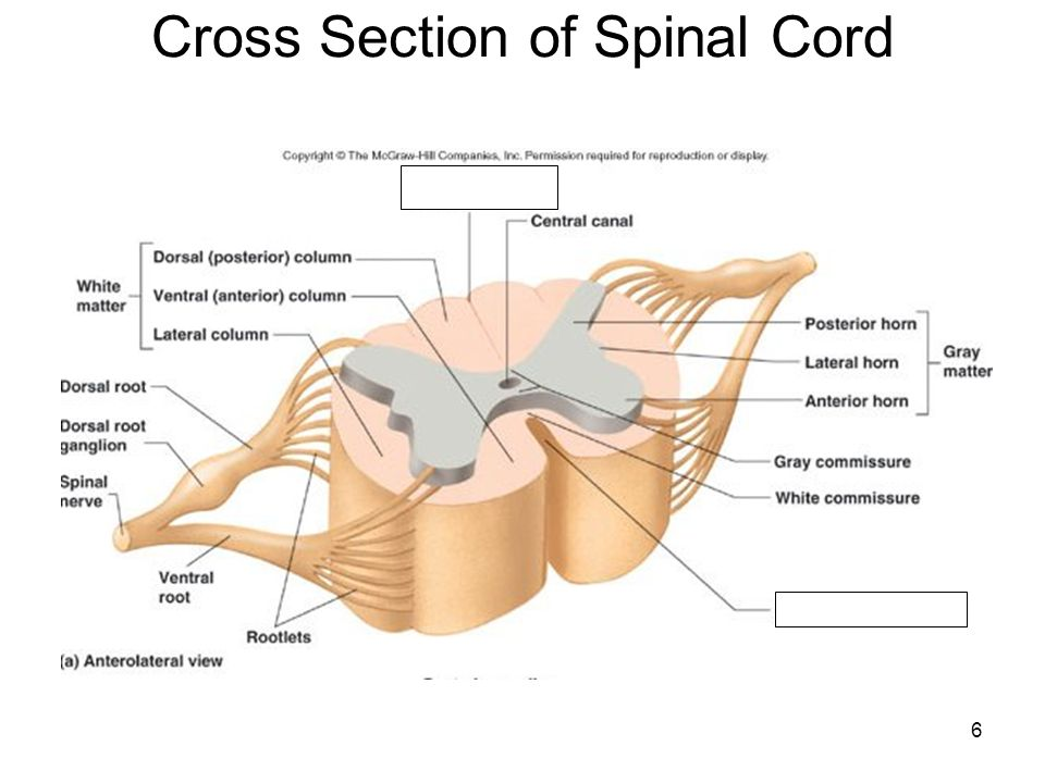 Ch 12 13 Spinal Cord And Spinal Nerves Ppt Video Online Download