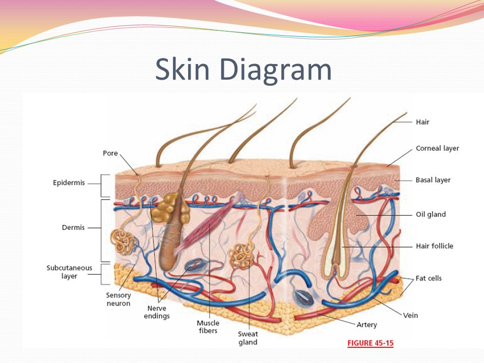 Integumentary System Chapter Ppt Download