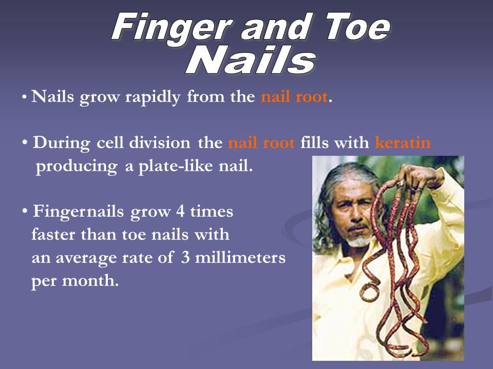Finger and Toe Nails. Nails grow rapidly from the nail root. During cell division the nail root fills with keratin.