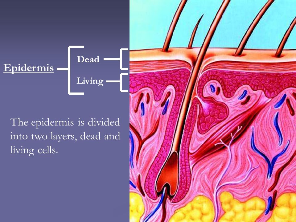 The epidermis is divided into two layers, dead and living cells.
