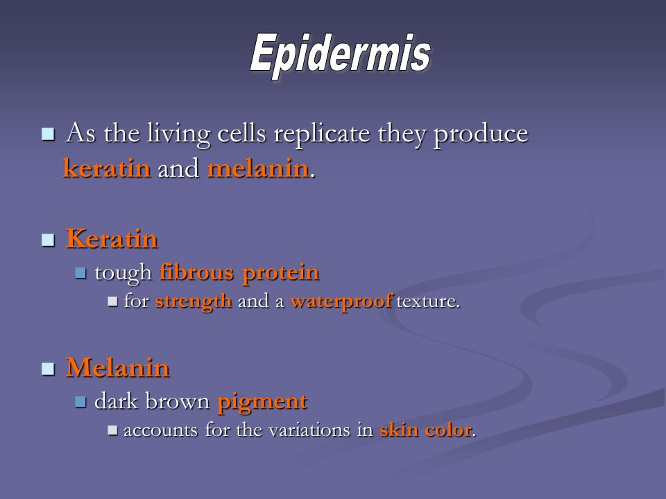 Epidermis As the living cells replicate they produce