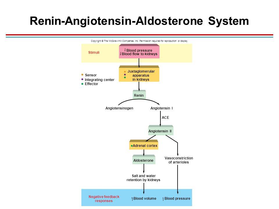 Renin Angiotensin System Flow Chart Ibovnathandedecker