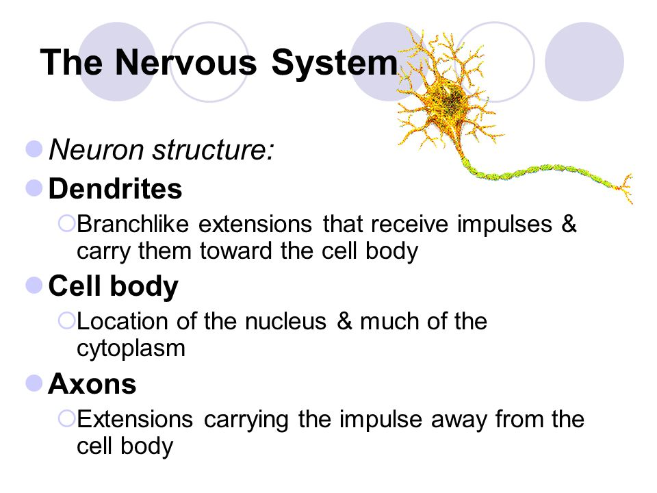 chapter 10 the nervous system _____chapter 10 nervous system 1 lesson plan 0 nervous system teaching focus students will have the opportunity to learn the nervous system's major organs, its functions, and its parts.