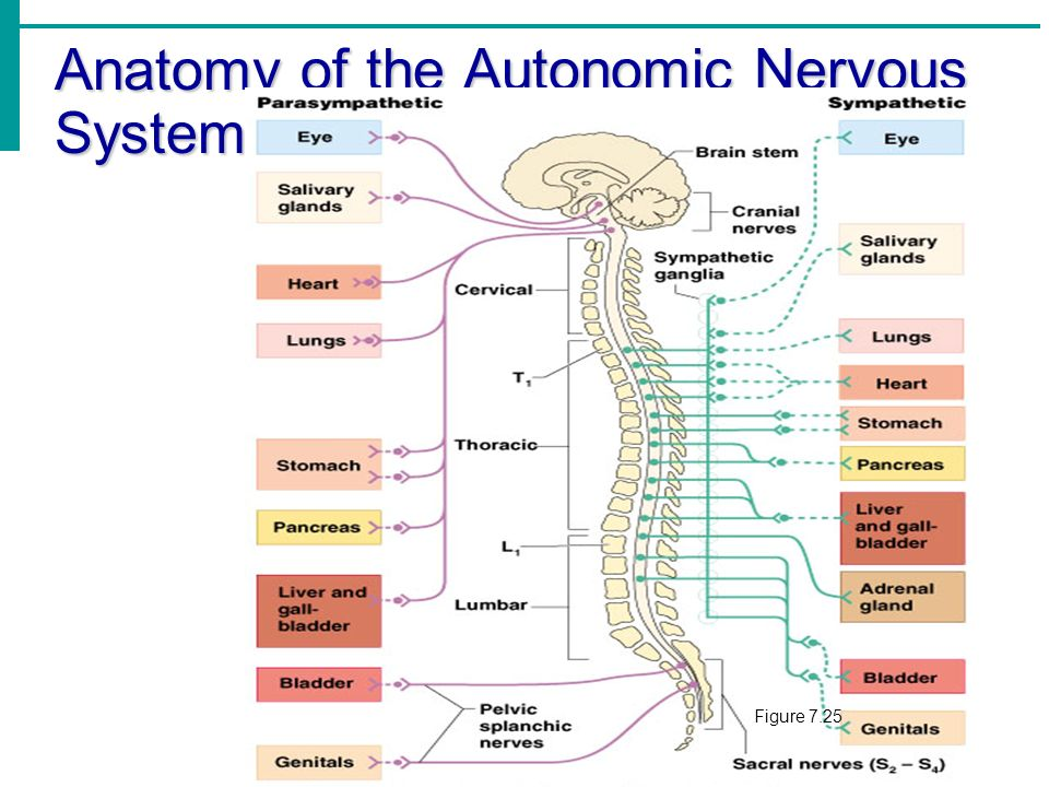 Autonomic nervous system anatomy 339314 - follow4more.info
